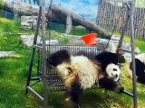 Ce panda est une vrai boule de poil. Trop chou