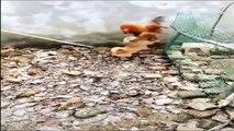 Chicken VS Dog Fight     Funny Dog Fight Videos