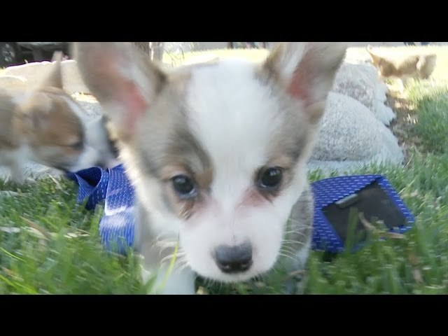 Corgi Puppy Is Classy With A Tie