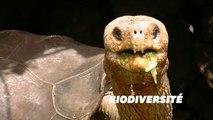 30 tortues géantes issues d'espèces disparues ont été découvertes aux îles Galapagos