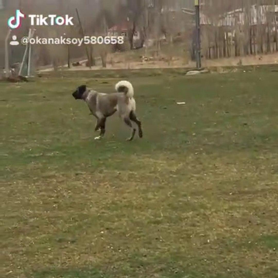 SiMiT KUYRUK PANTER SOYU COBAN KOPEGi - PANTER ANATOLiAN SHEPHERD DOG