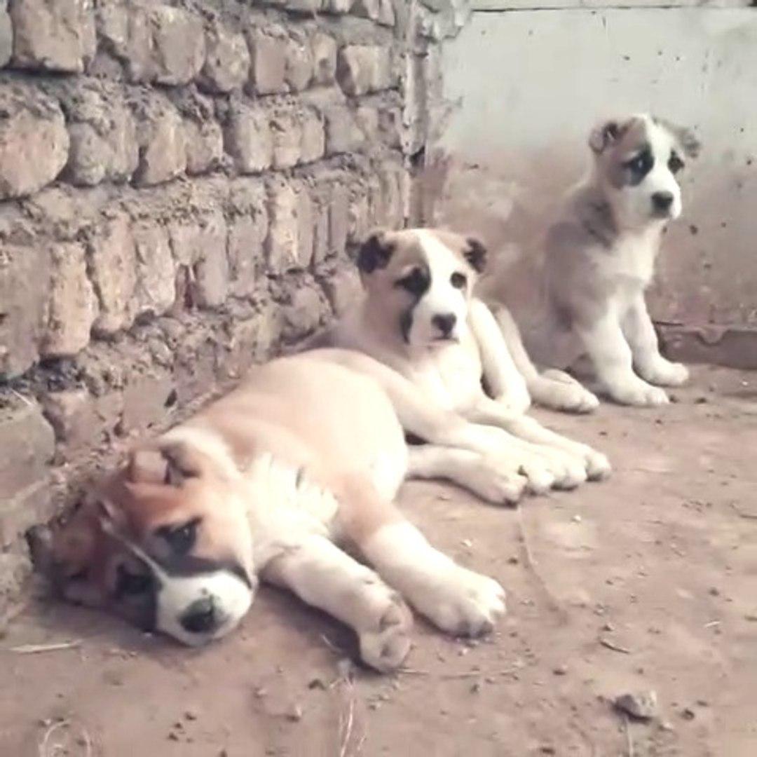 SABAH UYANAMAYAN ALABAY YAVRULARI - ALABAi SHEPHERD DOG PUPPiES
