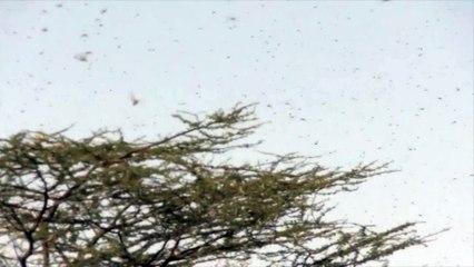 Les criquets pèlerins envahissent le Kenya