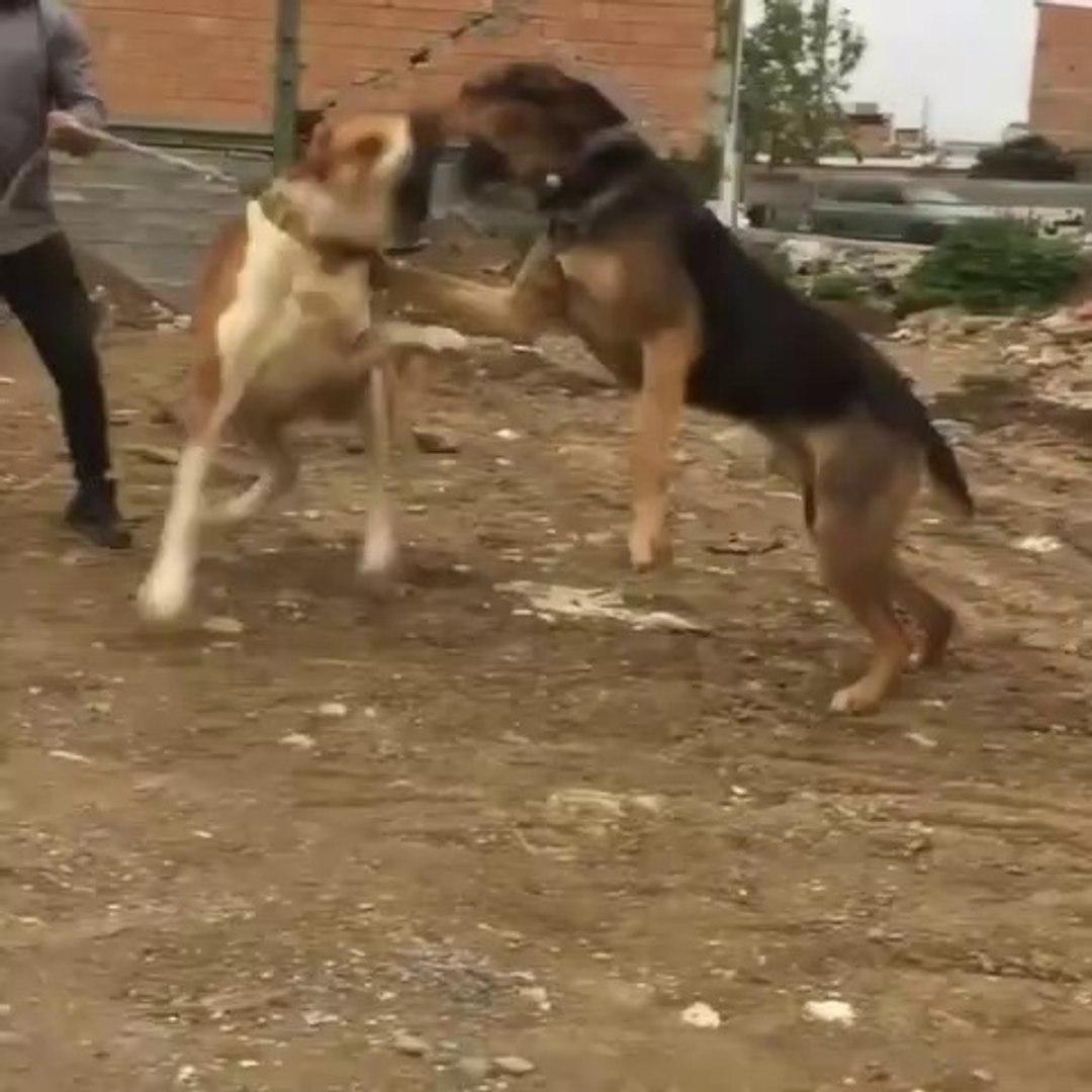 iRAN COBAN KOPEKLERi VS - iRANiAN SHEPHERD DOGS VS