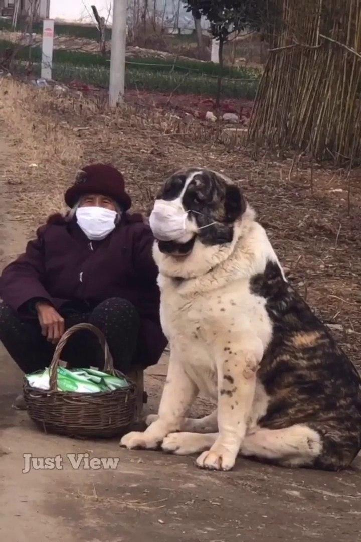CiNDE ALABAY KOPEGiNiN CORONA ViRUSUNE KARSI ONLEM  - CHiNA CORONA ViRUS and ALABAY SHEPHERD DOG