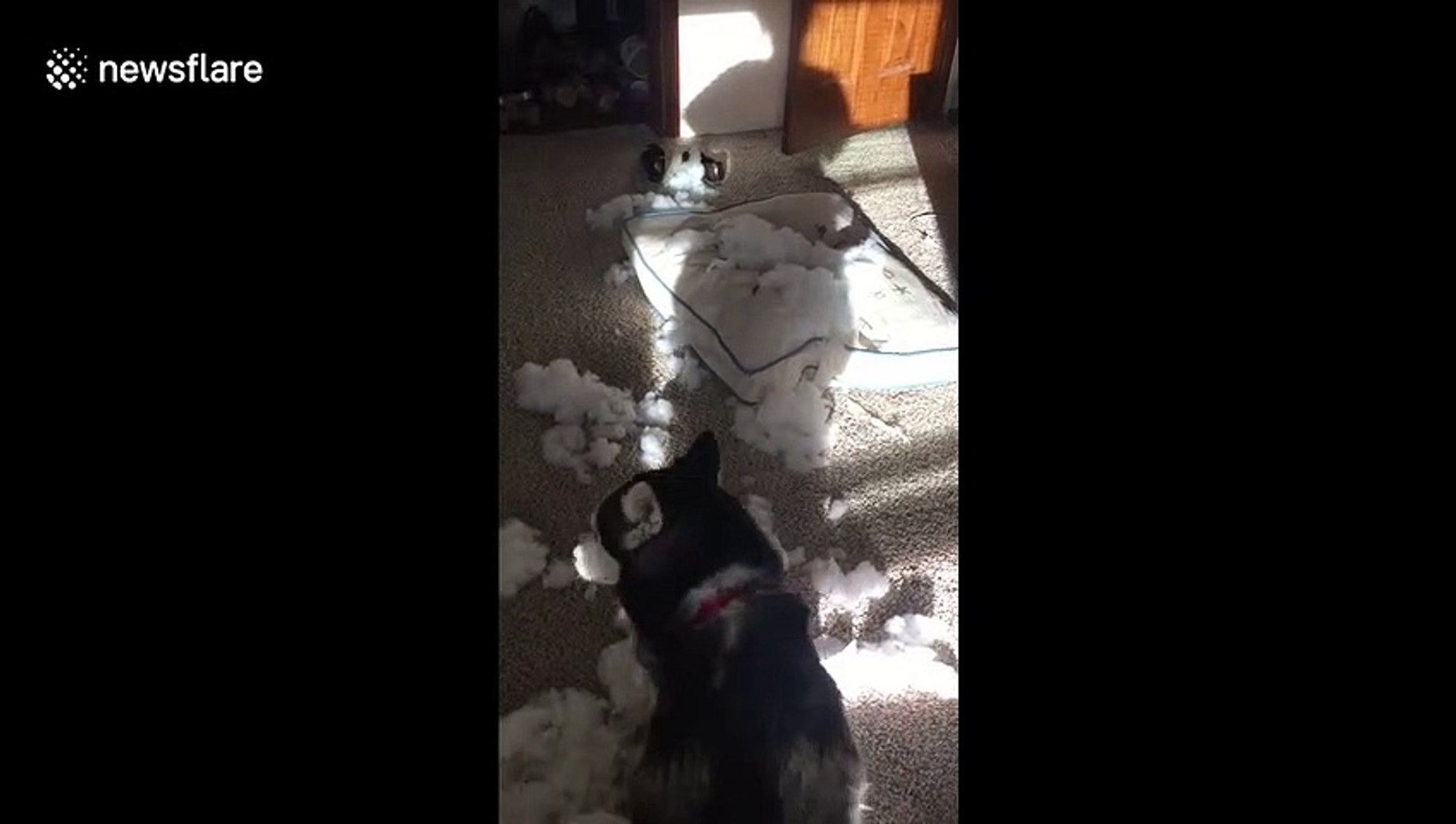 Three-legged Siberian husky destroys bed while US mum is at work