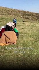 Trois vautours relâchés ce lundi dans les Pyrénées