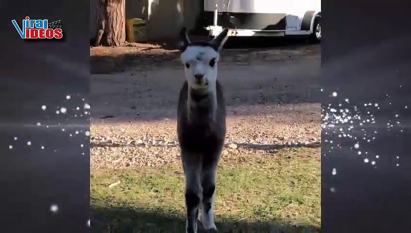 Cute and Adorable Baby Alpacas Video Compilation    Nature is Amazing    Animal Videos