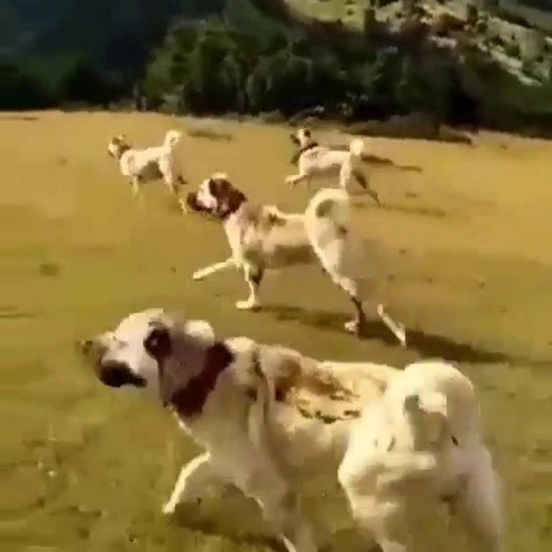 KANGAL KOPEKLERiNDEN KURTLARA GOVDE GOSTERiSi - KANGAL SHEPHERD DOGS