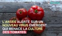 ToBRFV : un dangereux virus menace les tomates, poivrons et piment !