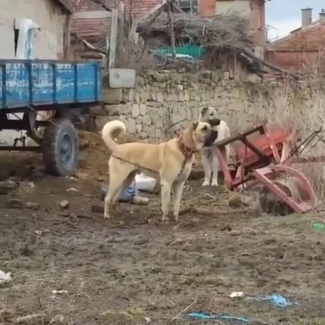 ANADOLU COBAN KOPEKLERi DUSMANı ALGILADI - ANATOLiAN SHEPHERD DOGS