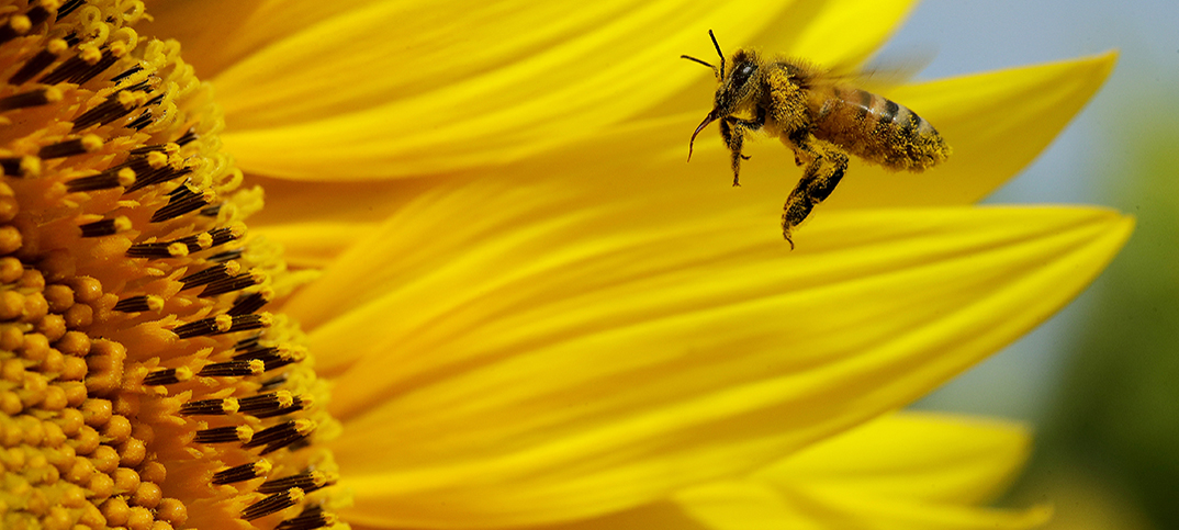 Mexican farmers plant sunflowers to save bees