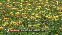 Environnement : des fleurs pour décontaminer les sols des métaux lourds