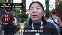 """Les bébés jumeaux pandas géants nés dans un parc animalier en Belgique """"se portent bien"""""""