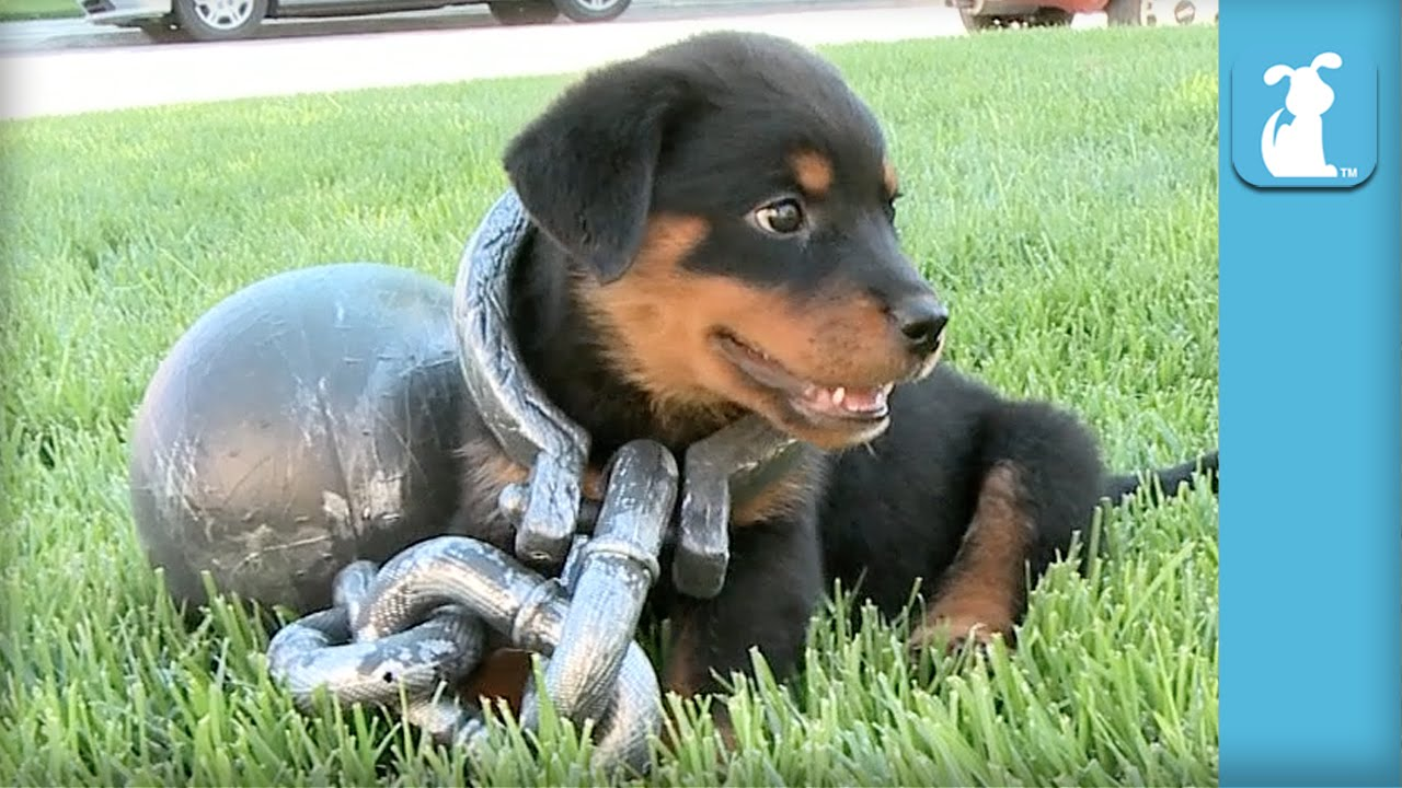 Rottweiler Puppy Gets The Ol' Ball And Chain- – Puppy Love