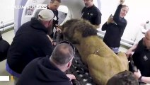What's It Like Do A CT Scan On African Lion?
