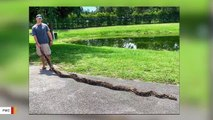 This 18-Foot Burmese Python Was Captured In Florida