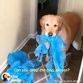 Ce labrador ne veut pas jouer sans son sachet plastique. Trop chou !