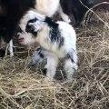 Ce bébé chèvre est un vrai crieur. Trop drôle !