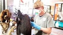Muséum Aquarium de Nancy : le singe passé à l'aspirateur