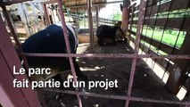 Honduras : un zoo de narcotrafiquants converti en refuge de tapirs