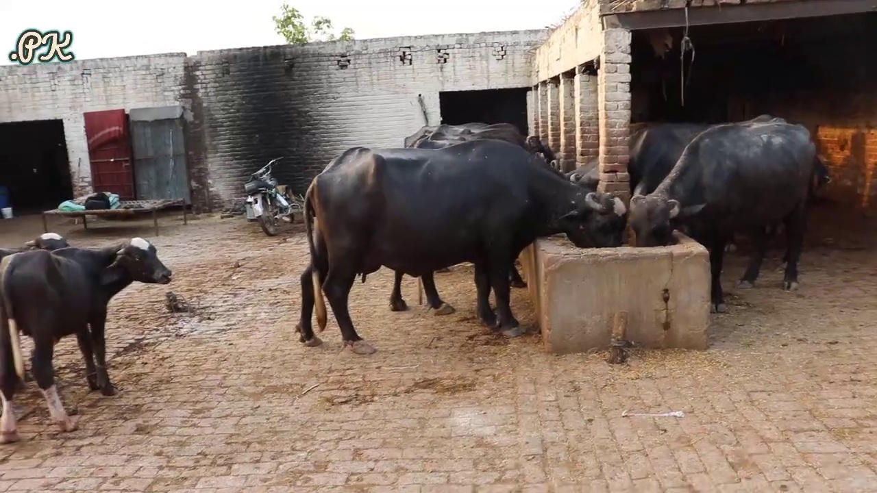 50 Buffaloes Farm in Pakistan | Buffaloes Farming in Urdu | Dairy Farming in Pakistan | Dairy Farm