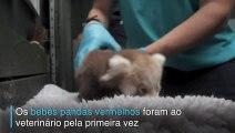 Bebês pandas vermelhos vão ao doutor