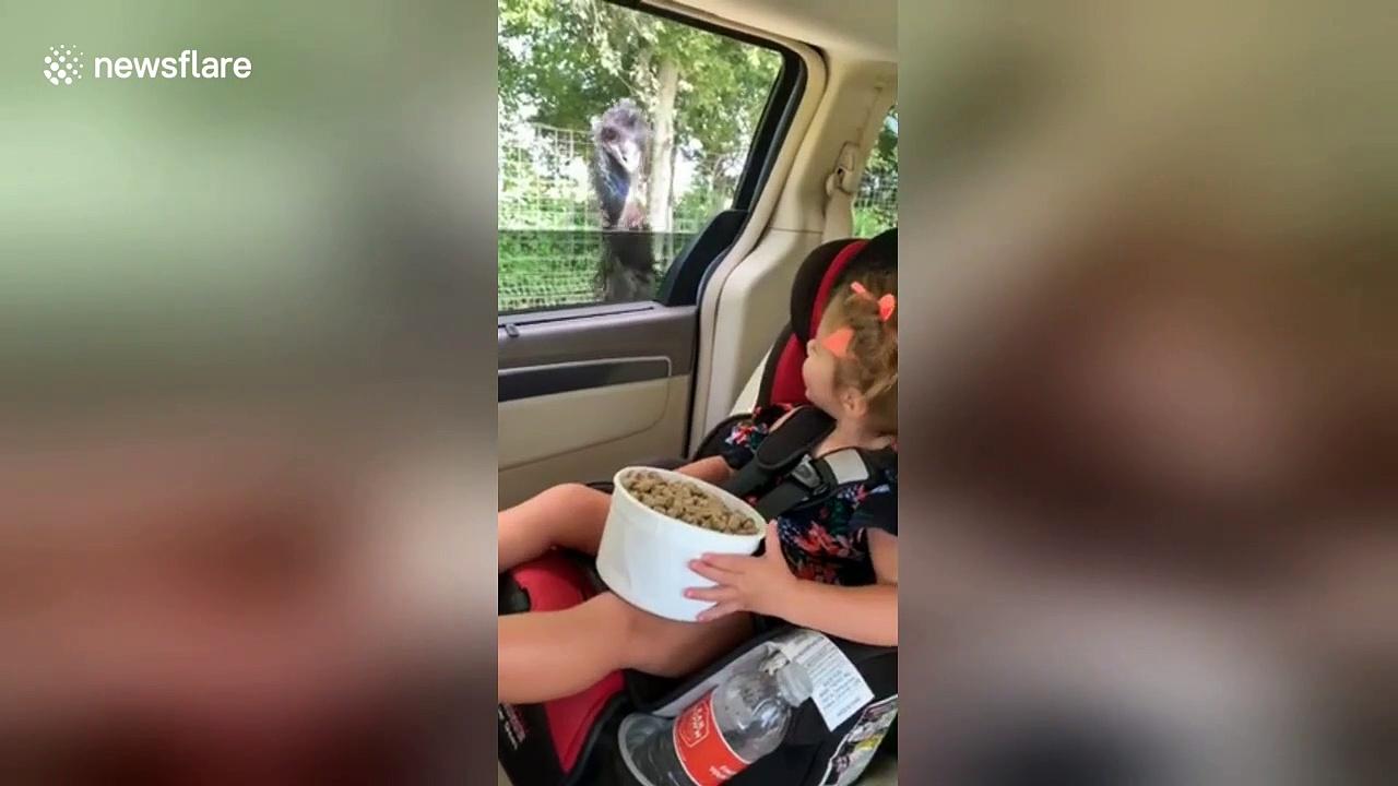 Incredible moment little girl feeds OSTRICH through car window
