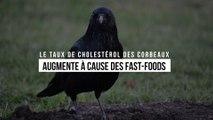 Le taux de cholestérol des corbeaux augmente à cause des fast-foods