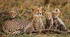 Les guépards pourraient disparaître en raison du braconnage et des trafics