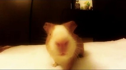 Guinea Pig Resource | Learn About, Share and Discuss Guinea