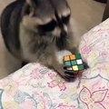 Quand un raton-laveur intelligent essaie de résoudre le Rubik's cube, voici ce qui arrive !