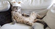 Ces chats disposent d'une impressionnante collection de «chapeaux» confectionnés à partir de leurs poils