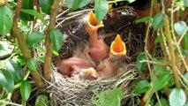 Feeding the Hungry Baby Birds