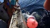 Un énorme grand requin blanc dévore le requin qu'ils venaient de pêcher