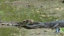 Un python énorme vient poser sa tête sur un crocodile