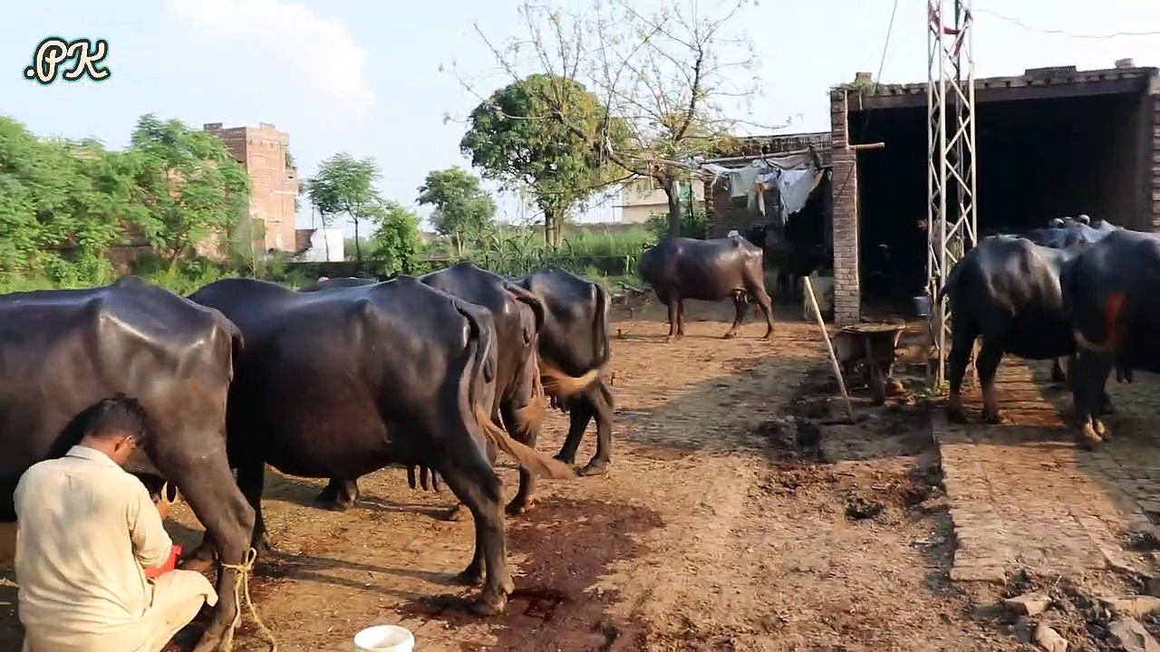 Nili Ravi Buffaloes Small Farm | Buffaloes Farming in Urdu | Dairy Farming | Buffaloes Farming Tips  — 12 بھینسوں کا فارم ,نوجوان مالک ,10 سال کا تجربہ ,9 بھینسوں کا روزانہ 70 کلو دودھ ,بھینسوں کے کاروبار کے حوالے سے زبردست اور لاجواب انٹروی