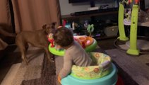 Toddler on Activity Walker Plays With Dog Happily