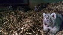 Trois bébés tigres du Bengale sont nés dans un zoo péruvien