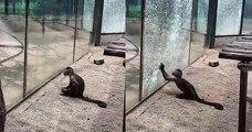 En Chine, un singe est parvenu à briser la vitre de sa cage à l'aide d'une pierre aiguisée