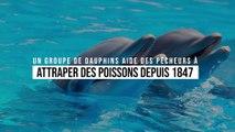 Un groupe de dauphins aide des pêcheurs à attraper des poissons depuis 1847