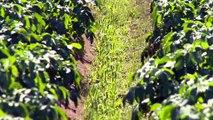 Réduire les risques liés aux pesticides dans les champs de pomme de terre
