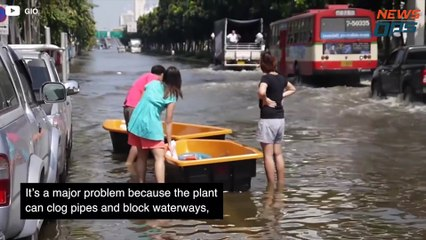 Thailand's Plant Extermination Plans The Hyacinth Plague