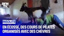 En Écosse, des cours de Pilates organisés avec des chèvres