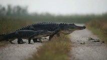 Un chemin très emprunté par les crocodiles