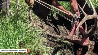 Rescuing This Bull Elk Stuck In Bog Hole Was Tricky To Say The Least