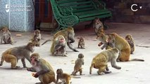 Himachal Farmers Poisoning Monkeys