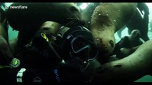 Scuba diver off Vancouver island plays with Steller sea lions like puppies