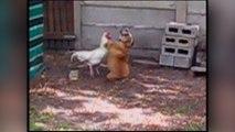 Poule vs chien