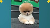 Funny Pomeranian | Cute Pomeranian| Mini Pomeranian Compilation